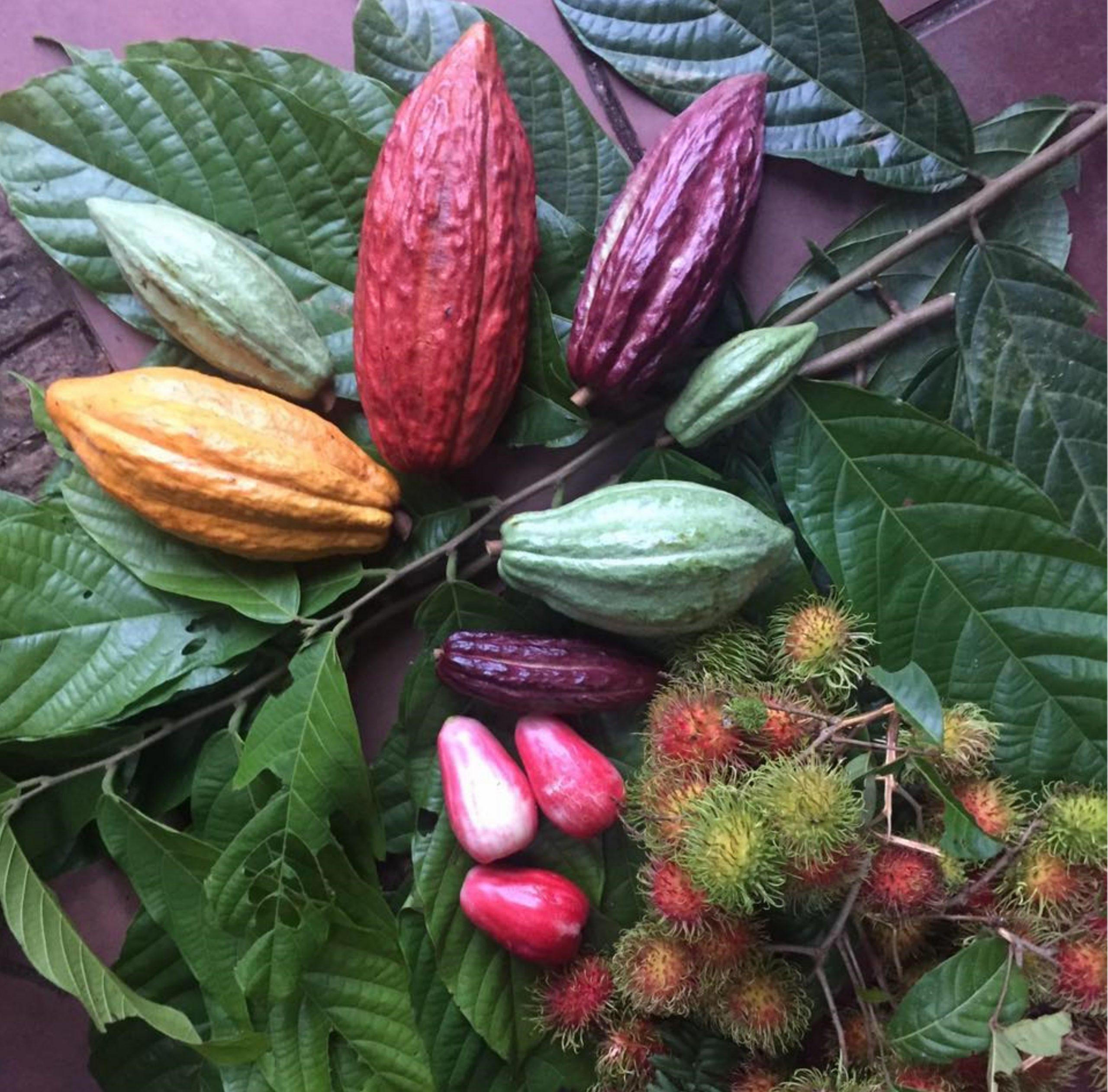 Kakaofrüchte